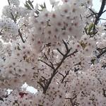 兵六玉 - 日和山公園の桜☆