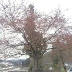 84753824 - 駐車場の桜(4/25時点では、まだつぼみでした)