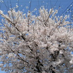ライオン ダンス - 桜花