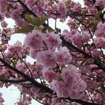 シエロイリオ - 浅草寺へ向かう途中、八重桜が綺麗でした♡