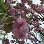 シエロイリオ - 可愛らしいピンク色に春を感じます。