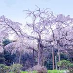 84923651 - 長興山紹太寺のしだれ桜