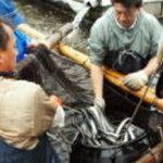 割烹 しが - 静岡県大井川で天然近く育てた厳選うなぎ!(1匹約250g)