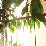 フルーツパーラーフクナガ - アボカドの種を発根させた苗木。