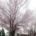 85136051 - 桜咲きました。この木の向かいが、こちらのお店。