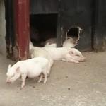 85184406 - リアル豚さん
