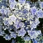 レ・グラン・ザルブル - ショップにあった紫陽花の鉢植え