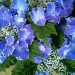 レ・グラン・ザルブル - 紫陽花の鉢植え
