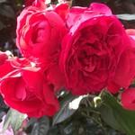 ヴェヌス サウス インディアン ダイニング - お隣のビルの薔薇が綺麗だった。