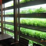 8586107 - お店の中にある自家栽培野菜たちです。