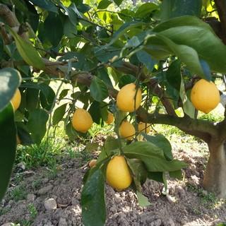 瀬戸田町から果汁たっぷりレモンサワー