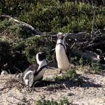 86217086 - 卵を抱いたケープペンギン