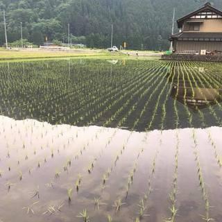 ◆今年も植えてきました♪シャリは自家製米コシヒカリを使用♪