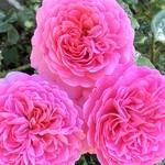 コエダハウス - la belle rose