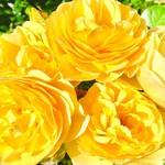 コエダハウス - rose jaune
