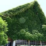 87047382 - 外観 店を覆う蔦が印象的