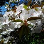 Sekiyou - 客室「桜」からの眺め② 桜の花