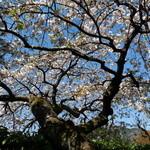 Sekiyou - 客室「桜」からの眺め③ 幹の立派なこと・・・