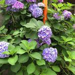 87577408 - 京町堀に紫陽花も咲いている