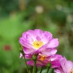コエダハウス - 咲いているバラをパシャり