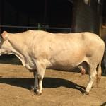 焼鳥今井 - フランスのバザス牛