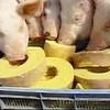 生姜料理 ぬくり - その他写真:行列の出来る人気のバームクーヘンを食べて育った豚達です!