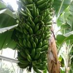 熱川バナナワニ園分園フルーツパーラー - 熟す前のバナナ