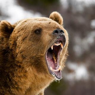 常に人気のジビエ「熊肉」入荷しました