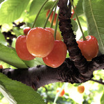 美果実フルーツ園 - 料理写真:さくらんぼ
