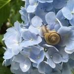 88615644 - 矢田寺の紫陽花とかたつむり