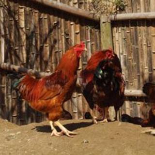 全国地鶏・銘柄鶏食味コンテストで第1位に輝いた【さつま地鶏】
