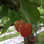 高橋さくらんぼ園 - 料理写真: