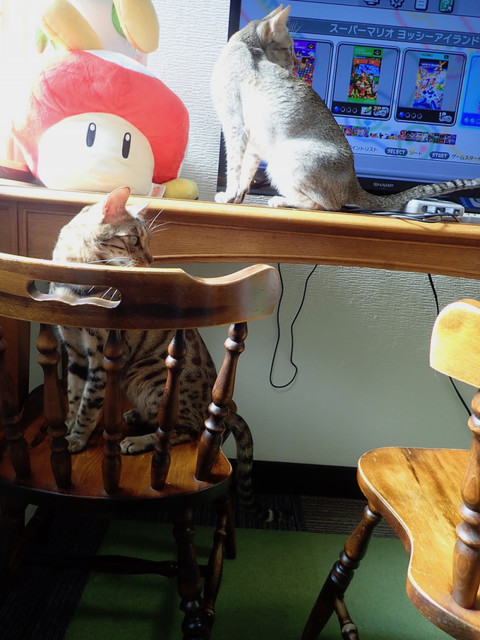 ねこカフェ 猫八 - ルイージ&テト「マリオカートしようと思ったら、ご飯ニャ」