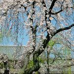 9109559 - 席から見えた桜