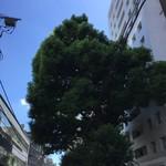 91525911 - 大楠といってもまあ楠ですから樹齢600年以上でもこんなもんです