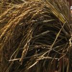 お米は新潟県の長岡の農家さんから直送の新鮮な「新潟コシヒカリ」を使用しています♪