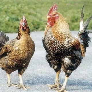 牛や豚を一切使わない、『本物の鶏スープ』は絶品!