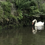 鮨処美好 - 共栄橋の近くにいた白鳥さん‼︎