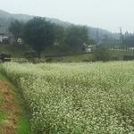 93105374 - 蕎麦の花と水車小屋
