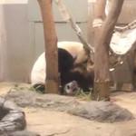 上野動物園 西園食堂 - シンシンと戯れるシャンシャン 可愛かった~