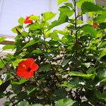 9329478 - ハイビスカスが咲いています