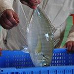 オリカサ - 高知須崎漁港から届く天然鮮魚!