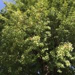 はまの屋パーラー - 日比谷門近くの大木に銀杏が沢山なっていました