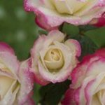 サンセット ドリーム - 店先に咲くバラ3