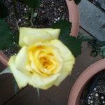 サンセット ドリーム - 店先に咲くバラ4