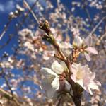 97143055 - 晩秋の桜です