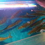 九州 熱中屋 - 泳いでるサバ
