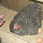 白州平飼い卵(山梨県北杜市白州町)