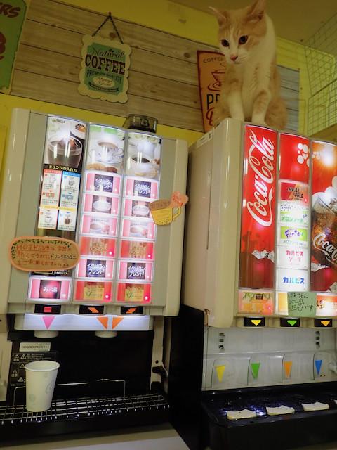 猫カフェあいきゃっと 福島店 - こつぶ「こちらでは好きなの 飲んでってくださいニャ」