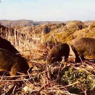 幻の純粋系アグー豚を放牧